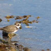 20070913-semipalmated_plover-2.jpg