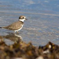 20070913-semipalmated_plover-3.jpg