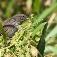 20070913-song_sparrow_atriplex.jpg