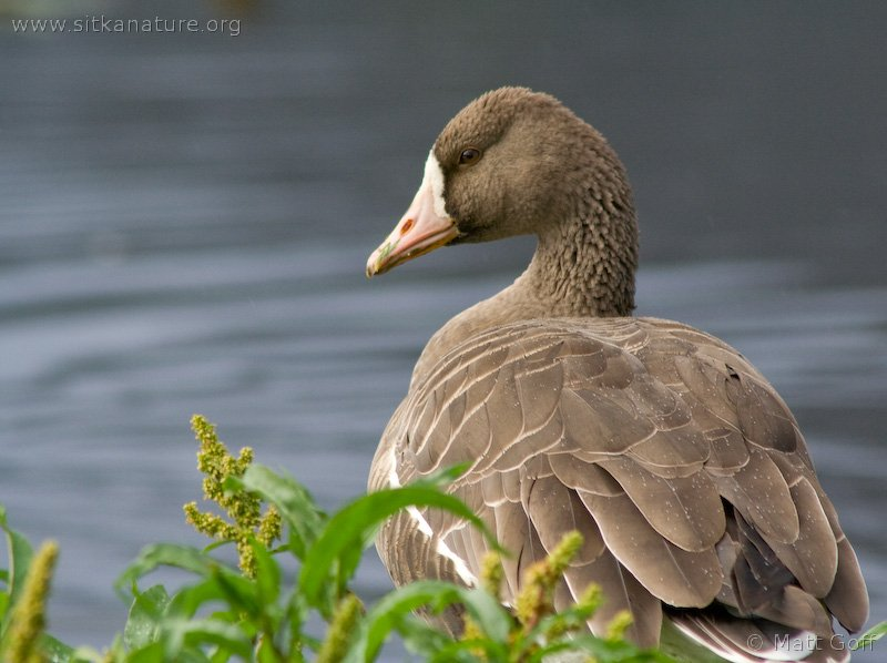 20070915-greater_white-fronted_goose-8.jpg