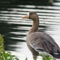 20070915-greater_white-fronted_goose-1.jpg