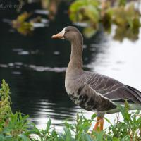 20070915-greater_white-fronted_goose-2.jpg