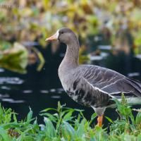 20070915-greater_white-fronted_goose-3.jpg