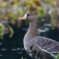 20070915-greater_white-fronted_goose-4.jpg