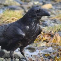 20070915-raven-2.jpg