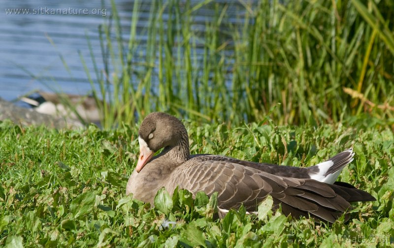 20070918-greater_white-fronted_goose-3.jpg