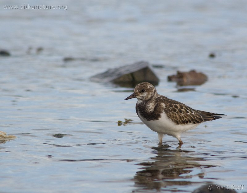 20070918-ruddy_turnstone-1.jpg