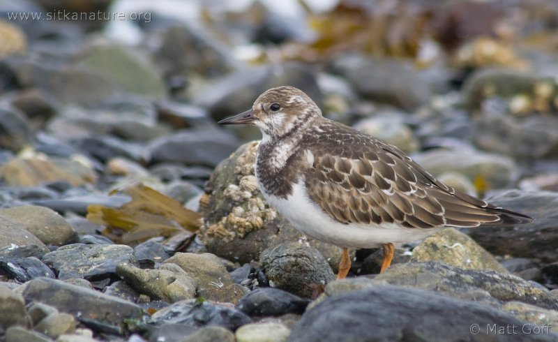 20070918-ruddy_turnstone-2.jpg