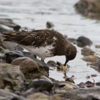 20070918-black_turnstone-1.jpg