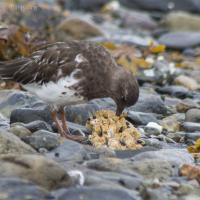 20070918-black_turnstone-2.jpg