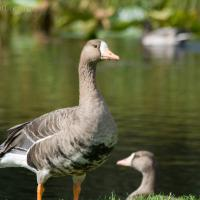 20070918-greater_white-fronted_goose-1.jpg