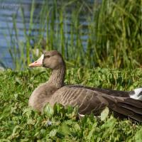 20070918-greater_white-fronted_goose-4.jpg