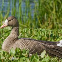 20070918-greater_white-fronted_goose-5.jpg