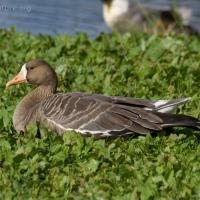 20070918-greater_white-fronted_goose-6.jpg