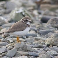 20070918-semipalmated_plover.jpg