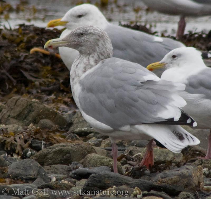 2007-09-23-gull-1