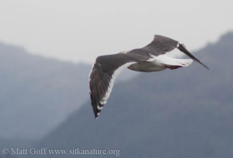 2007-09-23-slaty-backed_gull-4