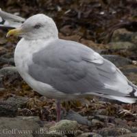 2007-09-23-gull-2