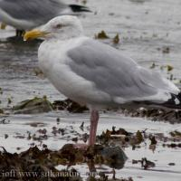 2007-09-23-herring_gull