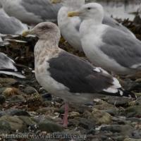 2007-09-23-slaty-backed_gull-3
