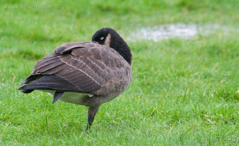 20070924-cackling_goose-1.jpg