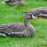20070924-greater_white-fronted_goose-1.jpg