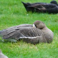 20070924-greater_white-fronted_goose-2.jpg