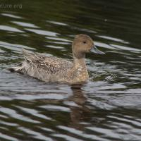 20070924-northern_pintail.jpg