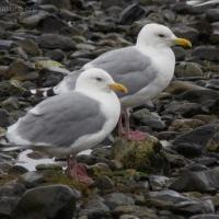 20070924-thayers_gull.jpg