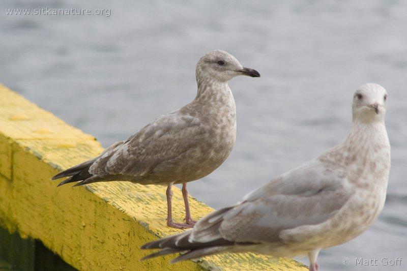 20070925-gulls-2.jpg