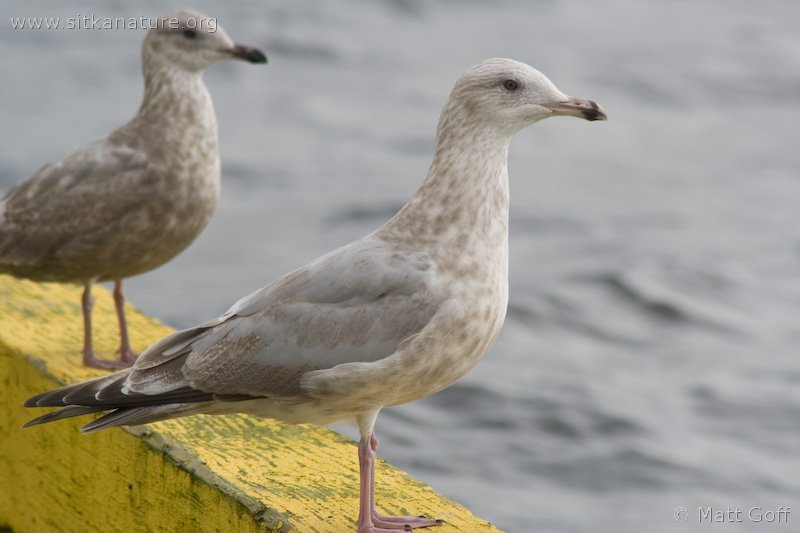 20070925-gulls-3.jpg