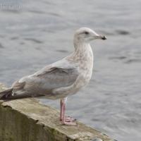 20070925-gulls-1.jpg