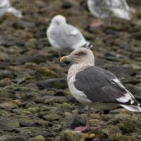 20070928-slaty-backed_gull-2.jpg