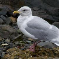 20070929-thayers_gull.jpg