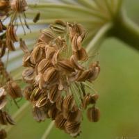 Kneeling Angelica (Angelica genuflexa)