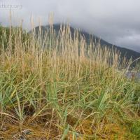 Dune Grass (Leymus mollis)