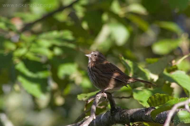 20071003-song_sparrow.jpg