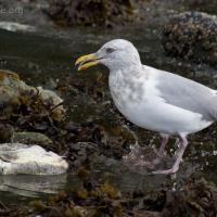 20071003-thayers_gull-2.jpg