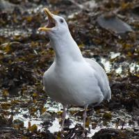 20071003-thayers_gull.jpg