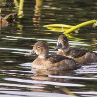 20071009-ring-necked_duck-1.jpg
