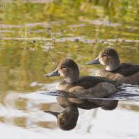 20071009-ring-necked_duck-2.jpg