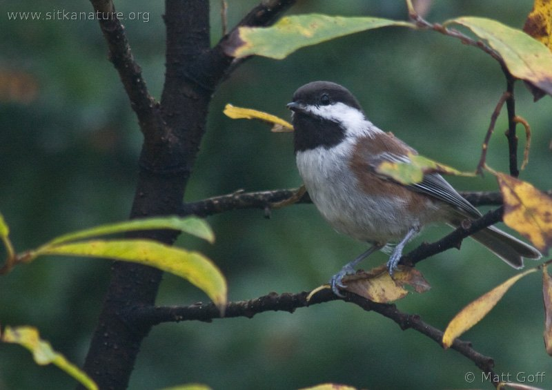 20071012-chestnut-backed_chickadee-2.jpg