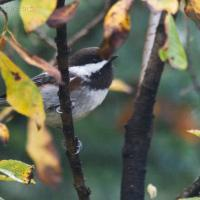 20071012-chestnut-backed_chickadee-1.jpg
