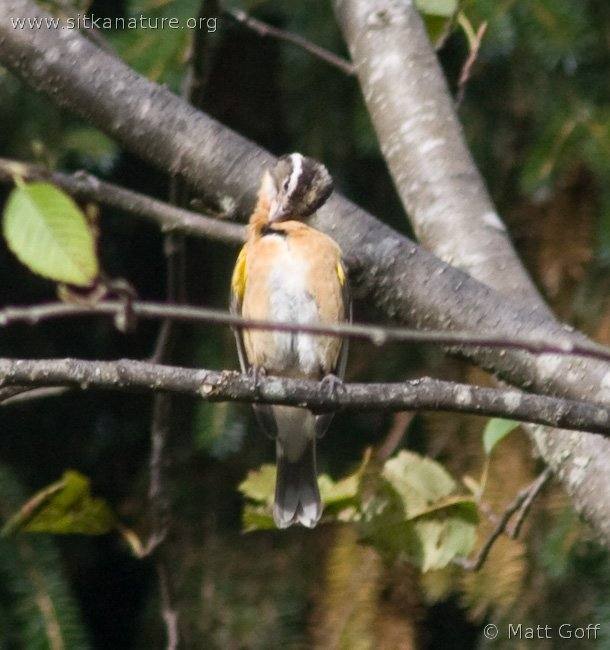 Black-headed Grosbeak (Pheucticus melanocephalus)