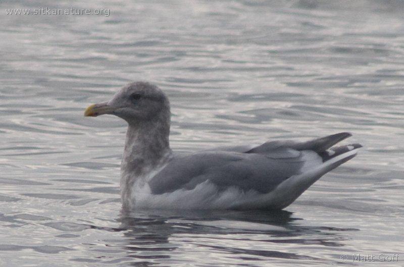 20071014-gull-b.jpg