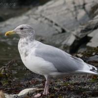 20071014-gull-a-3.jpg