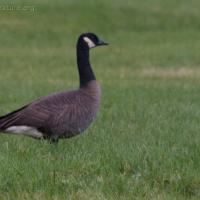 20071016-canada_goose.jpg
