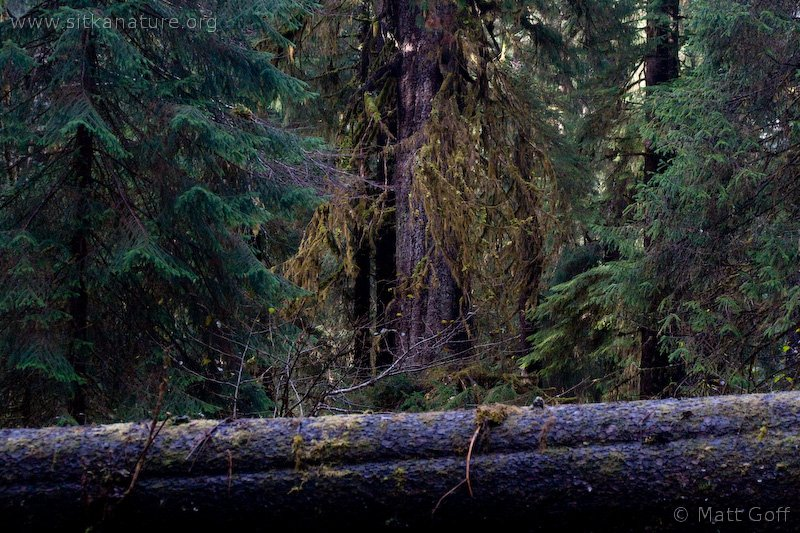 Spruce Tree (Picea sitchensis)