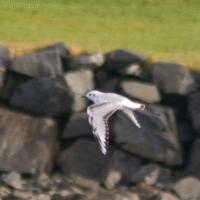 Bonaparte's Gull (Larus philadelphia)