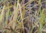 Pied-billed Grebe (Podilymbus podiceps)